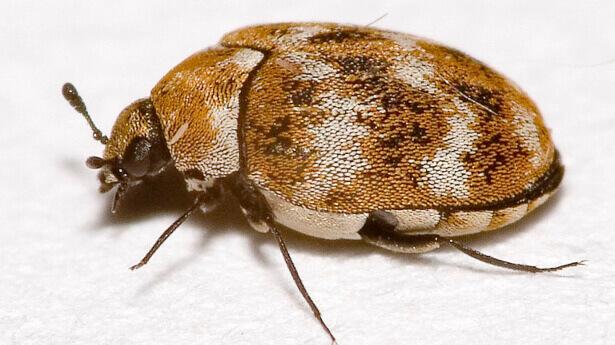 local carpet beetle treatment