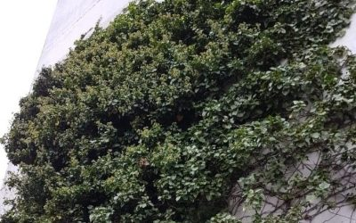 Ivy Removal in Manchester