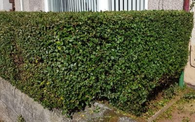 Hedge Trimming in Liverpool